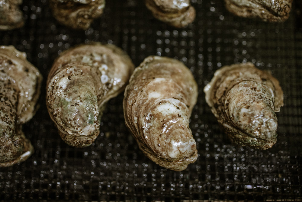 oysters in aquaculture