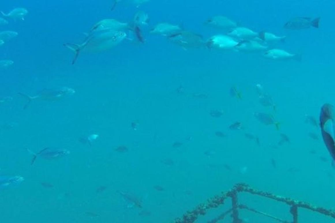 red snapper on oil rigs