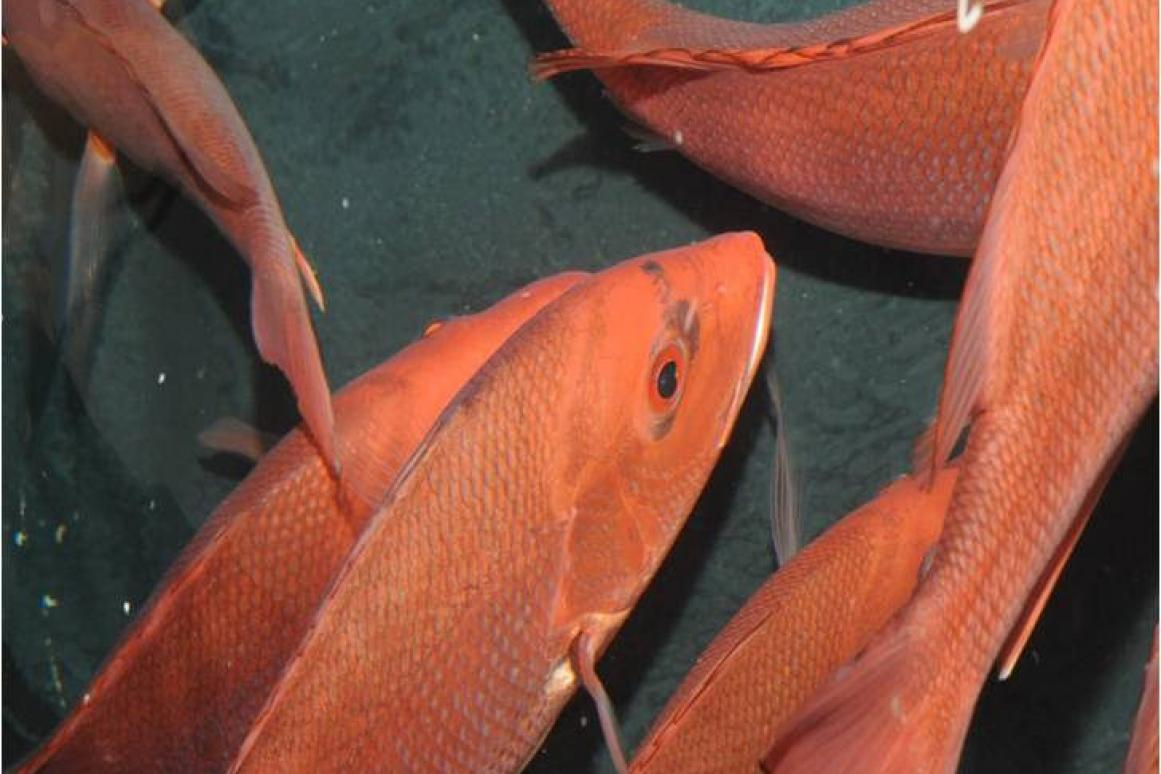 Red Snapper catch and release