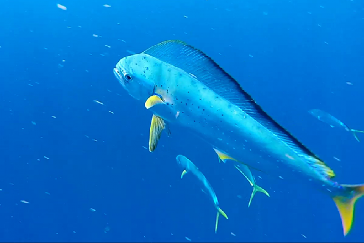 Dolphinfish research