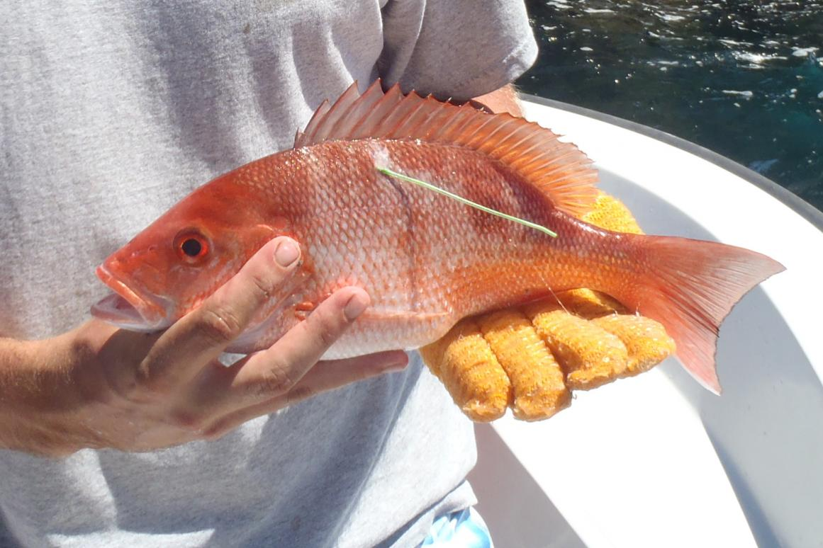tagged red snapper