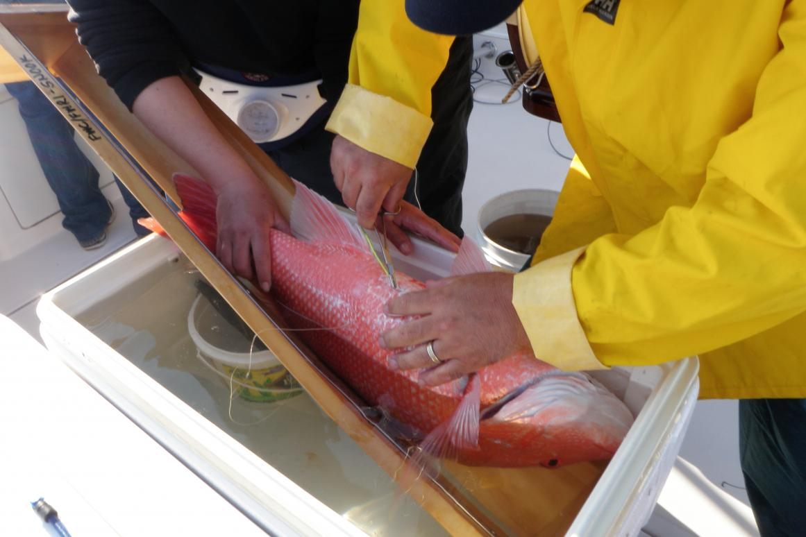 "Implanting ""pinger"" into a Red Snapper"