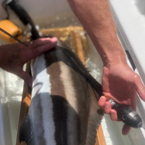 Tagged cobia